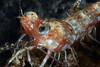 181120_Shrimp3b