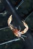 181115_Crab3b