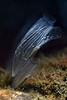 181115_Tunicate
