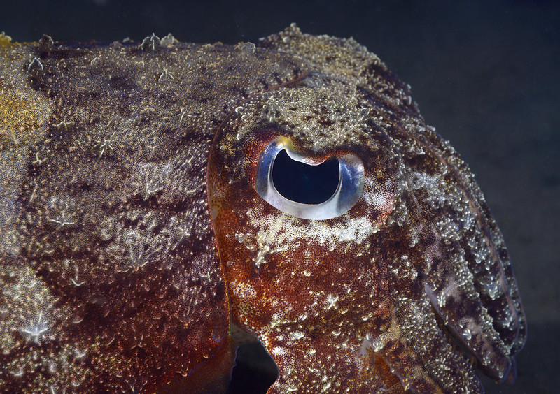 181115_Cuttlefish