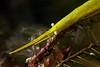 Shrimp: Tozeuma armatum<br /> ID thanks to Dr. Mary Wicksten