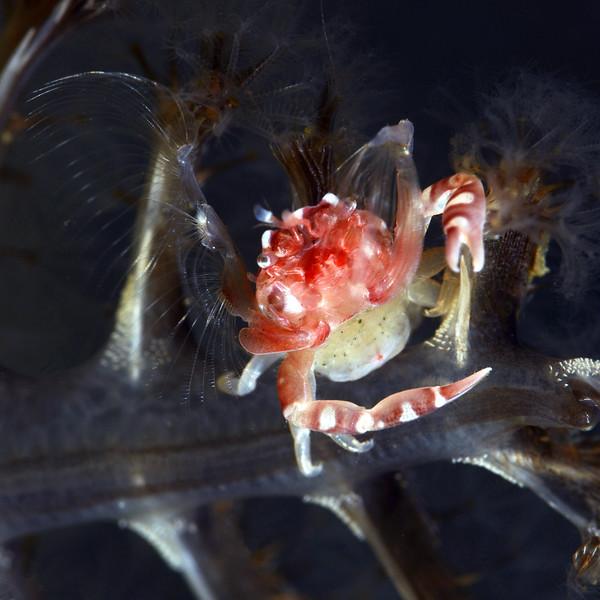 181115_Crab3c
