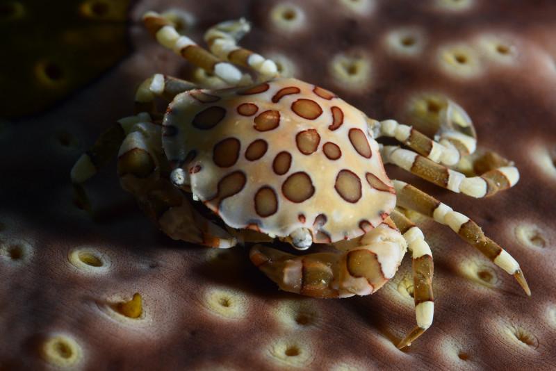181118_Crab1c