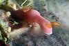 Verconia romeri<br /> Papua New Guinea