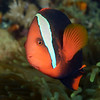160331_Amphiprion frenatus