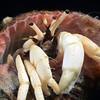 160331_Crab1d
