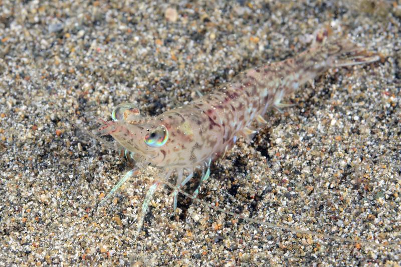 160402_Shrimp