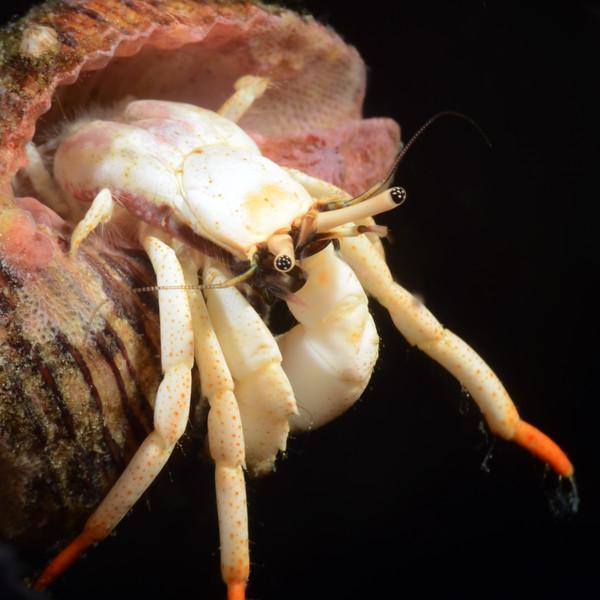 160331_Crab1b