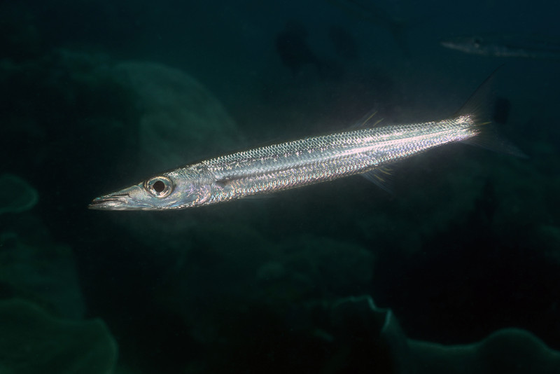 Fish: Barracuda<br /> Anilao, Philippines