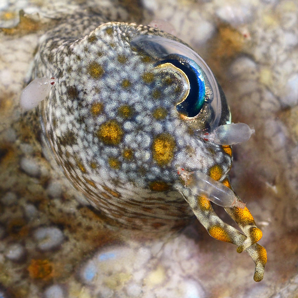 Fish: note red-eyed parasites.<br /> Anilao, Philippines