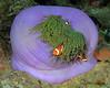 Coelenterata (Cnidaria): Heteractis magnifica, Magnificent Anemone.<br /> Anilao, Philippines.