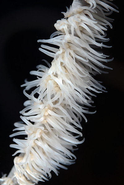 Coral<br /> Anilao, Philippines