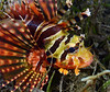 Lionfish<br /> The Pier, Anilao, Philippines