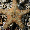 Echinodermata Star: Pentaster tyloderma, ventral view.<br /> Anilao, Philippines
