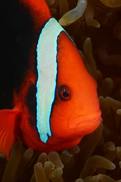 Fish: Amphiprion frenatus, Tomato Damselfish<br /> Anilao, Philippines.