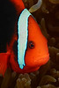 Fish: Amphiprion frenatus, Tomato Damselfish<br /> Anilao, Philippines.