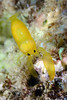 Shrimp: Could be a species of Periclimenoides, a sponge associate.<br /> Anilao, Philippines<br /> ID thanks to Dr. Mary Wicksten.