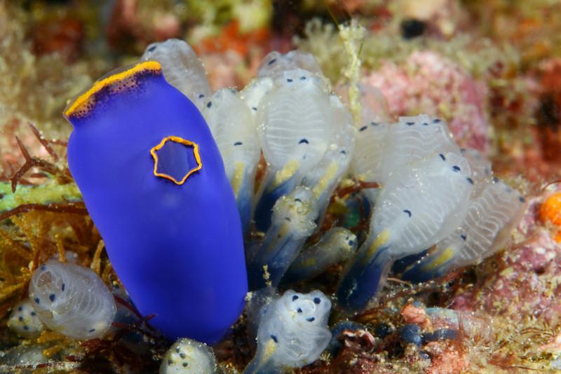 Tunicate<br /> Anilao, Philippines