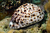 Gastropoda: Cypraea tigris; Tiger Cowrie.<br /> Anilao, Philippines