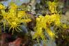 Echinoidea, Holothuroidea: Colochirus robustus, sea cucumber.<br /> Anilao, Philippines