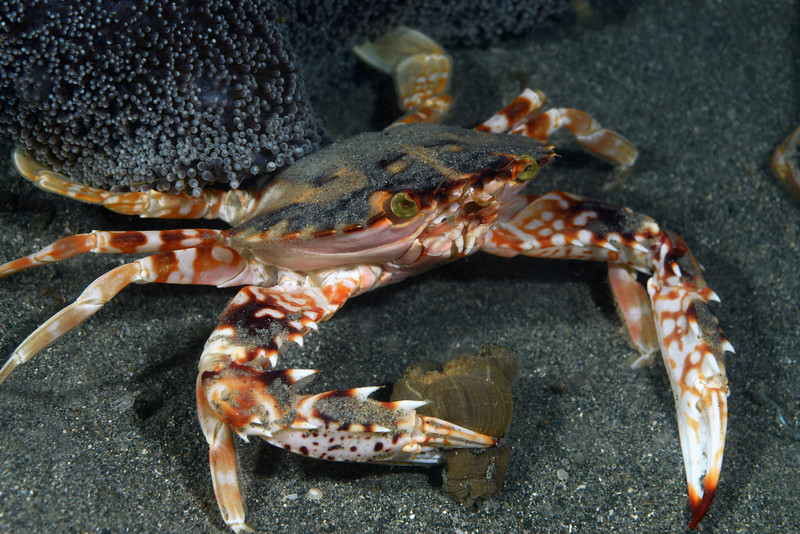Crab: Charybdis feriata.<br /> Anilao, Philippines.<br /> ID thanks to Dr. Mary Wicksten.