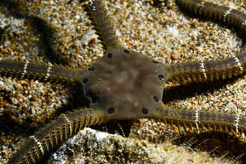 Echinodermata Star: Ophiarachnella septemspinosa.<br /> Anilao, Philippines.<br /> ID thanks to Dr. Gordon Hendler.
