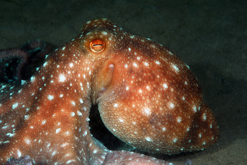 Cephalopod: Octopus luteus.<br /> The Pier, night dive. Anilao, Philippines