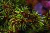 Coelenterata (Cnidaria), Tubastraea micrantha coral.<br /> Anilao, Philippines.
