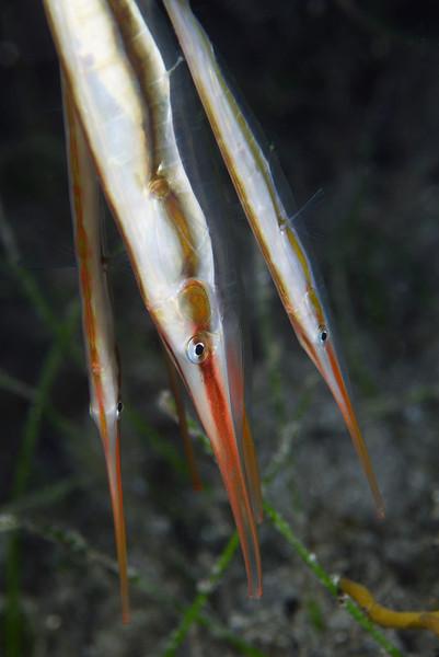 Razorfish<br /> Anilao, Philippines