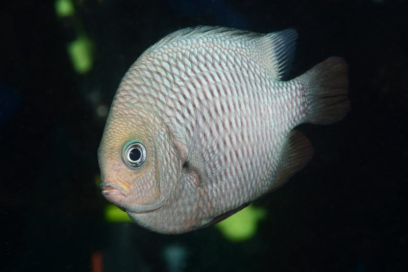 Fish:<br /> Anilao, Philippines