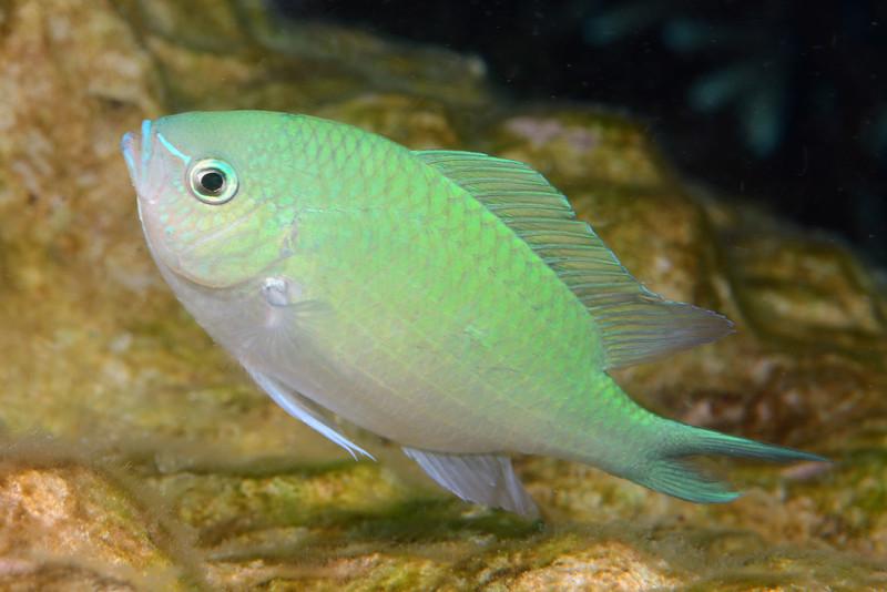 Fish: Chromis viridis, Green Chromis (?)<br /> Anilao, Philippines.