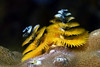 Spirobranchus giganteus, Christmas Tree Worm<br /> Anilao, Philippines.