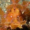 Fish: Rhinopia<br /> Anilao, Philippines.