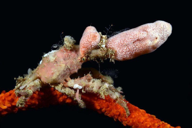 Crab: decorated with sponges<br /> Anilao, Philippines.