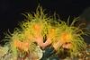 Coelenterata (Cnidaria), Tubastraea cf. faulkneri coral.<br /> Anilao, Philippines.