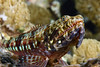 Lizardfish<br /> Anilao, Philippines