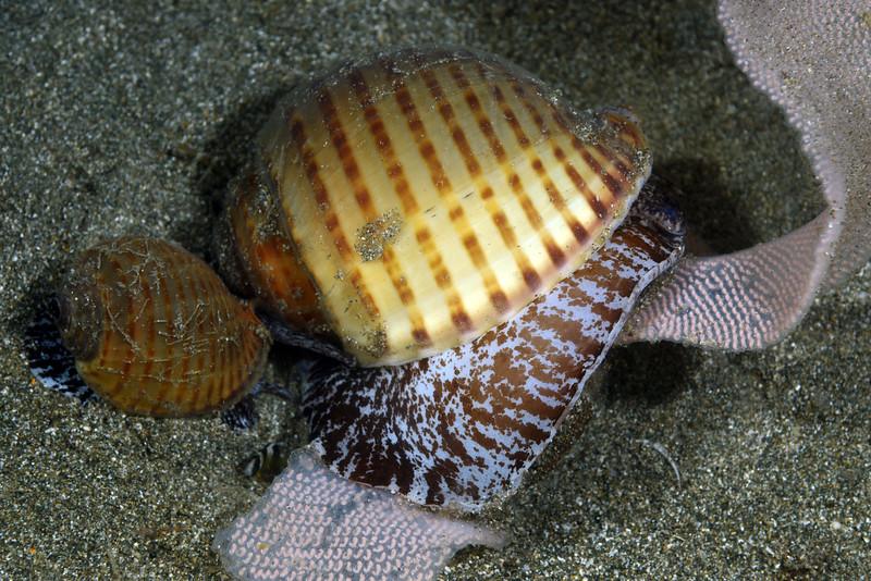 Gastropoda: Tonna perdix; Partridge Tun laying egg ribbon.<br /> Night dive, Anilao Pier, Philippines.