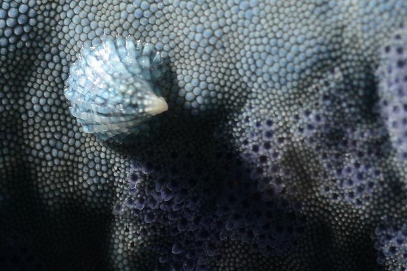 Gastropoda: Thyca crystallina, Eulimid shell on star, Linckia laevigata.<br /> Anilao, Philippines.
