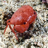 Crab:<br /> Anilao, Philippines.