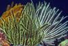 Echinodermata, Asteroidea: Crinoid<br /> Anilao, Philippines