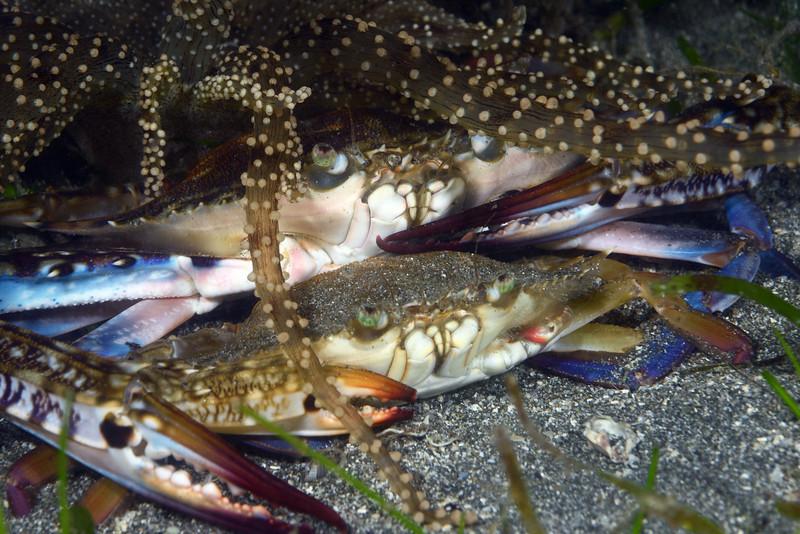 Crabs: Portunus pelagicus, mating<br /> Anilao, Philippines.<br /> ID thanks to Dr. Mary Wicksten.