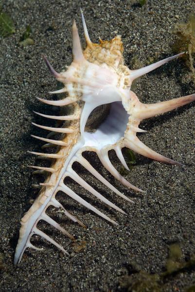 Gastropoda: Murex ternispina<br /> Anilao, Philippines.
