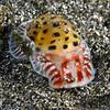 Gastropoda: Snail<br /> Anilao, Philippines.