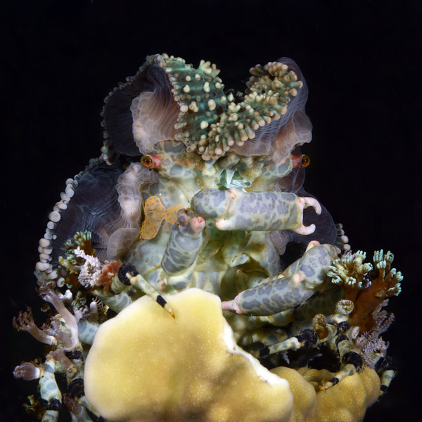 Crab: Cyclocoeloma tuberculatus, covered with pieces of sea anemones for camouflage and protection.<br /> Anilao, Philippines<br /> ID thanks to Dr. Mary Wicksten.