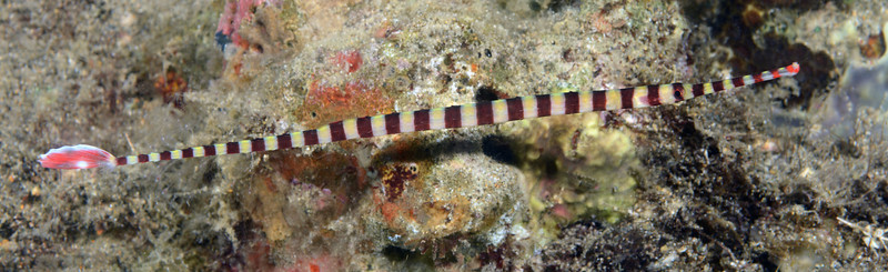 Fish: Banded Pipefish<br /> Anilao, Philippines.