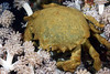 Crab: Dromia dormia, Sponge Crab<br /> Anilao, Philippines.<br /> ID thanks to Dr. Mary Wicksten.