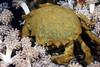 Crab: Dromia dormia, Sponge Crab<br /> Anilao, Philippines.<br /> ID thanks to Dr. Mary Wicksten.