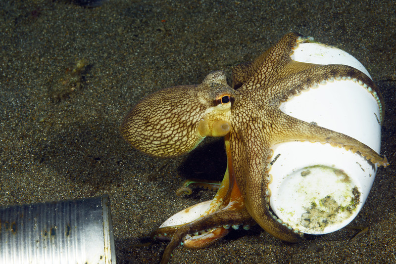 Cephalopod: Octo on the move with its ceramic home.<br /> Anilao, Philippines