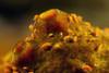 Isopods: Santia sp. <br /> Anilao, Philippines.