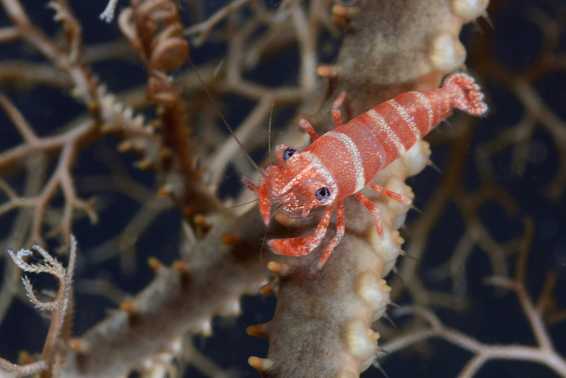 Shrimp: Periclimenes lanipes, only known from basket stars.<br /> Anilao, Philippines.<br /> ID thanks to Dr. Mary Wicksten.